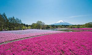 富士芝桜まつり(春限定)